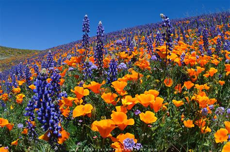 Pictures Of Flowers In Southern California | flower covered hillside fields and hills covered in