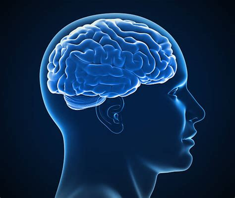 brain images royalty free human brain pictures images and stock photos