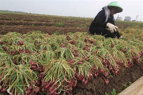 Benih Bawang Merah Impor asosiasi petani bibit bawang impor cukup membantu