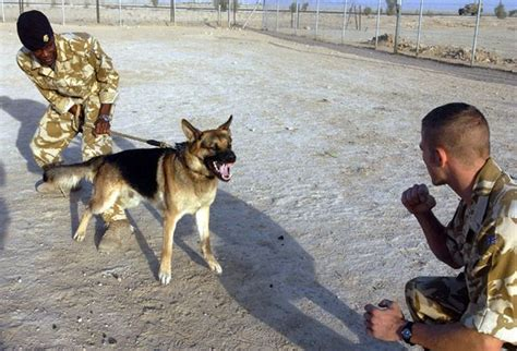 how to a german shepherd to attack attack for german shepherds 1001doggy