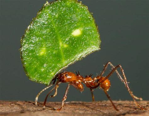 Cutter Ats species profile leafcutter ant atta spp and acromyrmex spp rainforest alliance