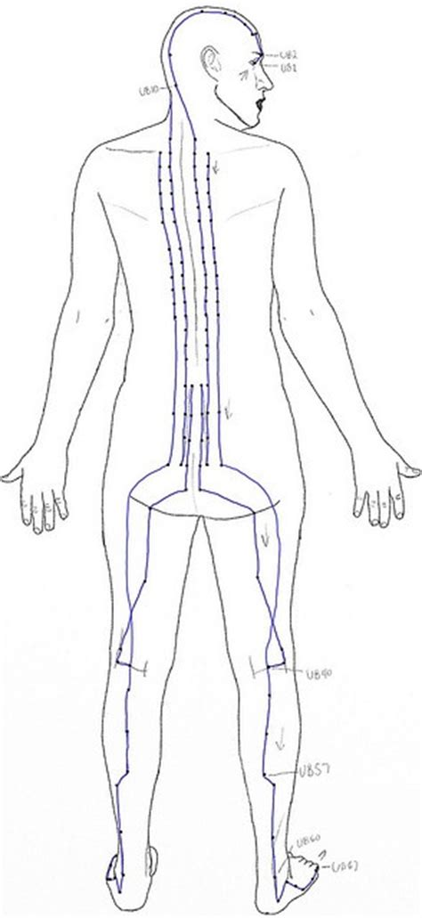 puppy bladder age chart 126 best meridian charts images on acupuncture points and