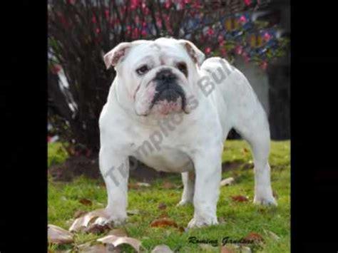 pug ingles bulldog ingles pug bulldog frances trompito 180 s bull galeria fotos 2