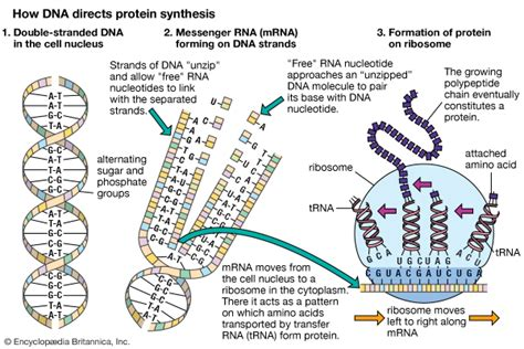 how does dna determine a trait such as eye color protein dna and protein synthesis students britannica