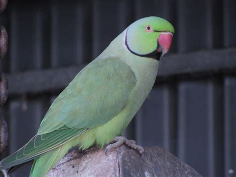 how much does an indian ringneck parrot cost