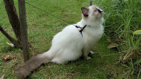 Tempat Makan Anjing Kucing Kecil amadeus suka berjalan jalan di luar kucing rumahan