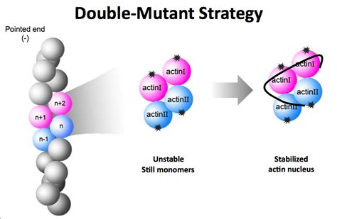 protein f aktin biologists take snapshot of fleeting protein process
