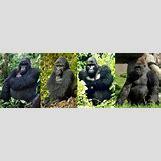 Mountain Gorilla Habitat | 800 x 271 jpeg 52kB