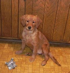 golden retrievers that stay small 1000 images about miniature golden retrievers on golden retriever mix