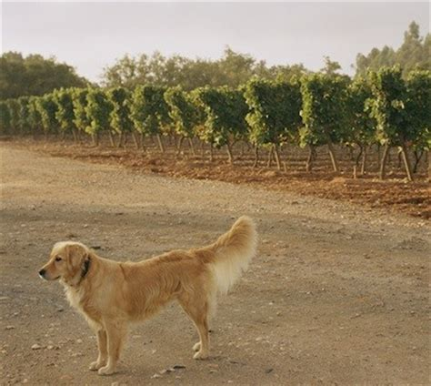 country dogs wine country concierge serves napa and sonoma pawnation