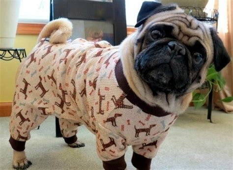 pugs as pets the 33 cutest pug pictures of all time