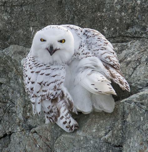 snowy owl tattoo snowy owl meaning