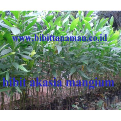 Bibit Acacia Mangium jual bibit tanaman unggul murah di purworejo