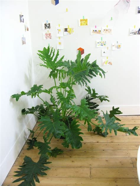24 best philodendron images on pinterest houseplants tropical plants and indoor house plants