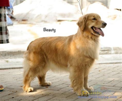 Boneka Anjing Golden Quality dunia anjing jual anjing golden retriever golden quality