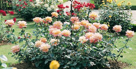 bulgaria 171 il paese delle rose 187 ma c 232 anche orfeo e i re di tracia viaggi e turismo bulgaria come scegliere e coltivare le rose paesaggistiche portale del verde