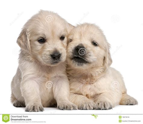 4 week golden retriever golden retriever puppies 4 weeks royalty free stock photos image 18673518