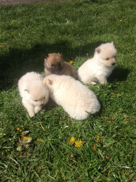 Small Dogs Free To Home West Midlands Pomeranian Puppies Coventry West Midlands Pets4homes