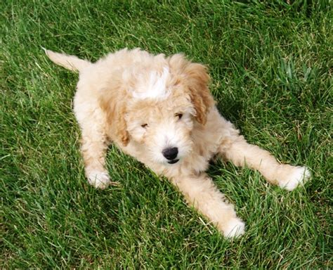 mini goldendoodle information s charming goldendoodles mini goldendoodles avail