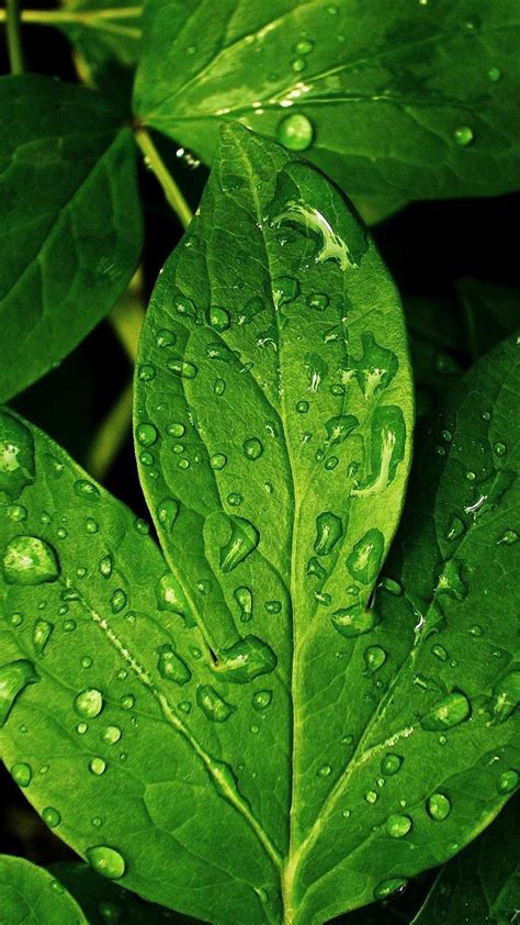 wallpaper iphone leaf close ups iphone 6 plus wallpapers morning dew green