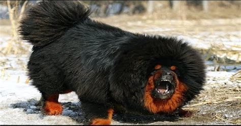 worlds dogs most expensive breeds in the world worlds most expensive breeds picture