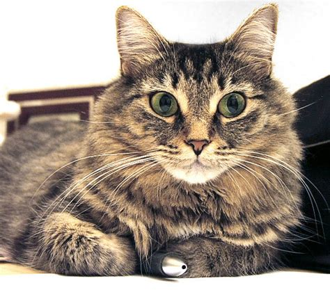 cat longhaired Tabby   /animals/cats/cat breeds/cat breeds