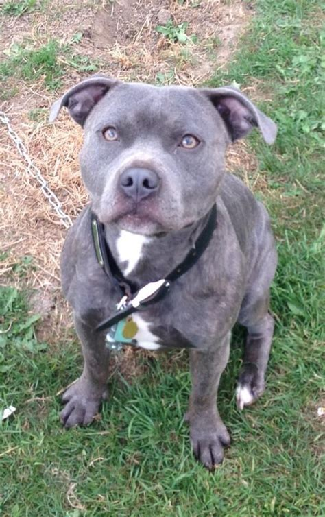 blue staffy beautiful blue staffy for stud chesterfield derbyshire pets4homes