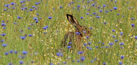 bett im kornfeld ein bett im kornfeld f 252 r den feldhasen