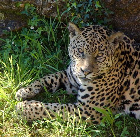 imagenes de jaguar animal 10 best jaguares en cabarceno cantabria spain images on