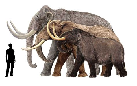 mammoth images tusks of breed of mammoth found by experts in