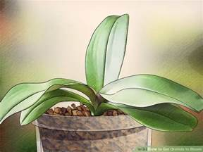 3 ways to get orchids to bloom wikihow
