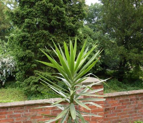 garten yucca teilen garten anders eine yucca palme ist ideal f 252 r den garten