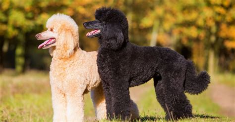 lifespan of a poodle top 6 best breeds characteristics expectancy