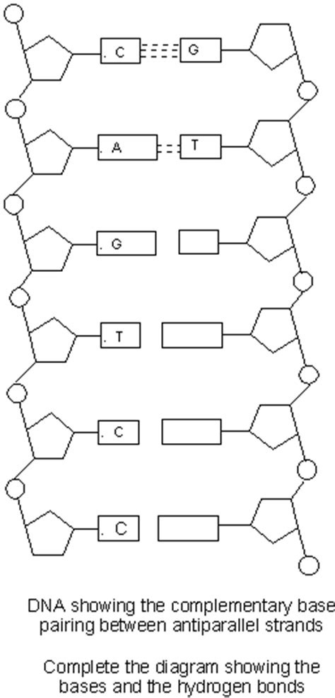Dna Labeling Worksheet by Labeled Dna Strand Diagram Labeled Free Engine Image For
