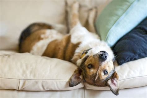 dog on sofa 7 easy ways to protect your furniture from your pets petcha