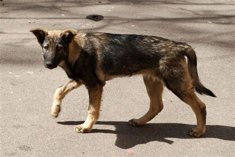 stray dogs file moscow stray jpg wikimedia commons