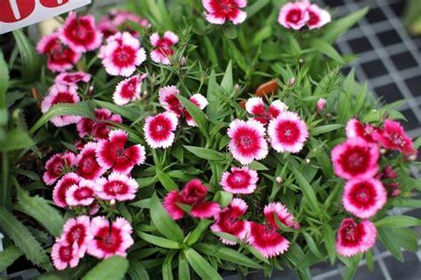 fiori per aiuole estive seminare perenni a marzo speciali semina giardino
