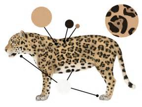 Jaguar Colour How To Draw Animals Big Cats Their Anatomy And Patterns