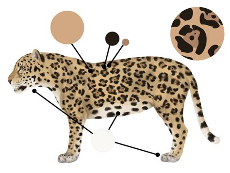 jaguars colors how to draw animals big cats their anatomy and patterns