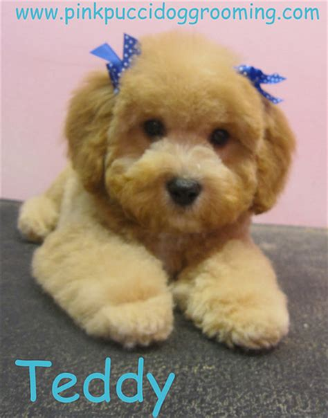 toy poodle haircuts pictures can i get some dog advice du friends democratic