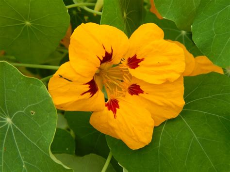 how to make capers from nasturtium seed pods sow and so