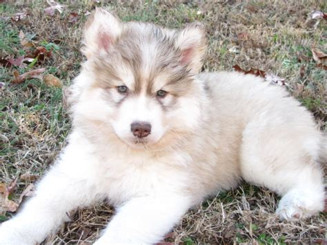 part husky part golden retriever goberain siberian husky golden retriever mix breeders topics on