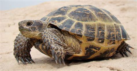 imagenes de tortugas blancas tortuga rusa
