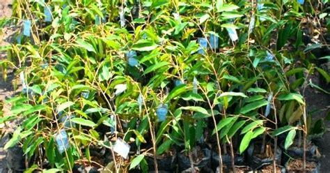 Jual Bibit Arwana Medan bibit tanaman murah jual bibit durian di medan