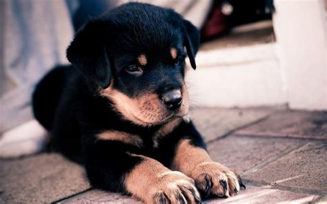 rottweiler puppy names 67 most popular rottweiler names