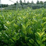piante da giardino prezzi lauroceraso prezzi piante da giardino costi