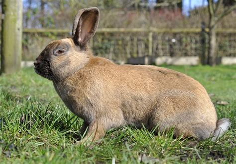 domestic breeds domestic rabbits breeds