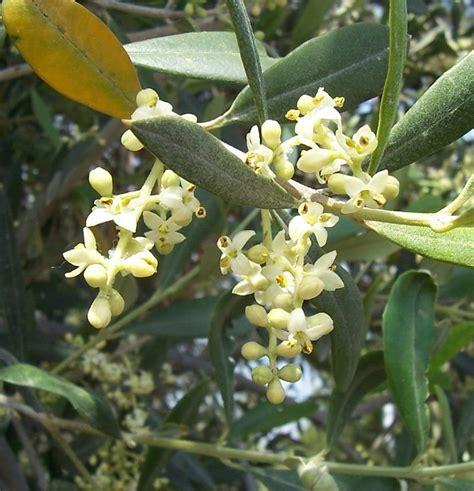 fiori di ulivo olivo concimi e fertilizzanti per la cura delle piante di