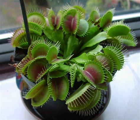 my venus flytrap won t close why venus flytrap does not