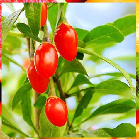 Cara Mengkonsumsi Goji Berry jual buah goji berry segar 2017 fiforlif harganya
